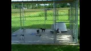 German Shorthaired Pointer Pups In Outdoor Kennel, 2007 Cooper/ruby Litter Born 5/26/07