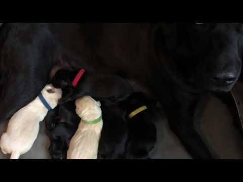 Annie Newborn British Labrador...