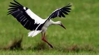 Звуки Природы.  Пение птиц - Белый Аист - Звуки птиц.