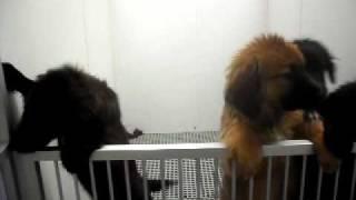 Meet Banzai A Spaniel, English Cocker Currently Available For Adoption At Petango.com! 3/2/2011 12:1