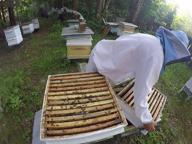 18 дек 2014. Beekeeping in turkey: турецкая пасека в лесу: турецкий падевый сосновый мед, mugla, turkiye 2014 video link.
