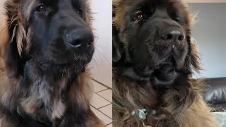 LEONBERGER DOGS 2021