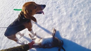 Охота #223 большая охота на зайца