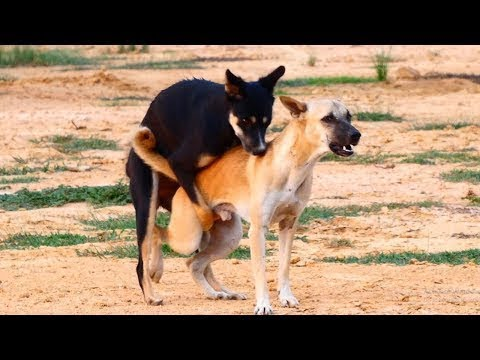 Summer RuralDogs!! German Jack Russell Terrier Vs Anatolian Shepherd Dog in Home Village