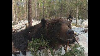 Фильм 5. Охота на медведя с лайками 2019. Самый большой медведь сезона