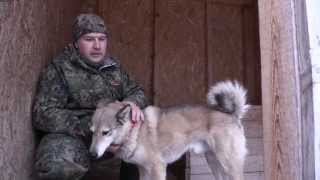 Охота с западно-сибирской лайкой (1 серия)