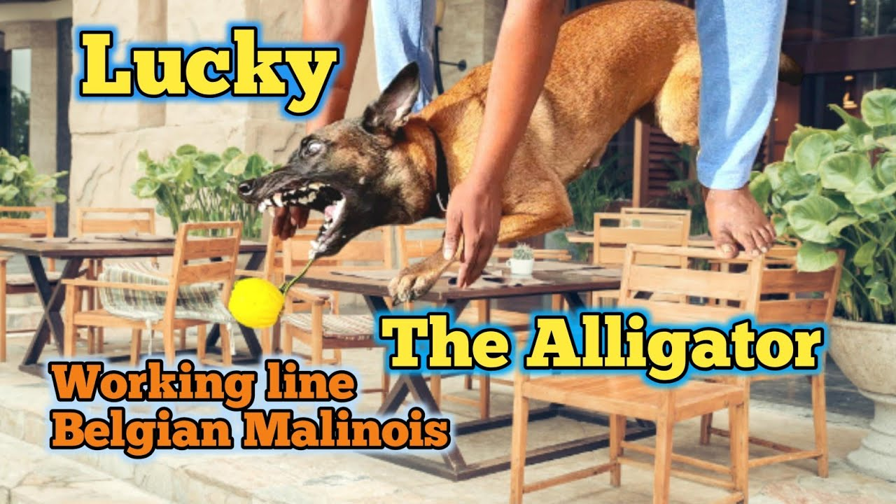 Impulse control in dogs | Lucky The Monster 👹 Malinois @Balu's K-9 Dog training #support #viral