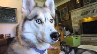 Escape Artists? - Fan Friday Returns! #9 - Siberian Husky