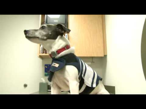 Fox2 News Thundershirt For Dogs How Does It Work