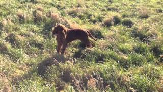 Honey, 4 months old, playing in the long grass in the field on a gl...