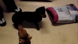 Cute Dog Alert!! Our Miniature Doxens (dachshunds) Eating Dogfood From The Bag!! Too Cute!!