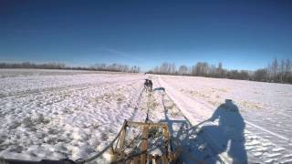 German Short Haired Pointers Dogsledding