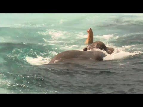 Sri Lanka: un éléphant en détresse sauvé en pleine mer