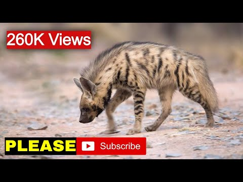 Awesome video catching Striped hyena at Ranthambhore National Park, Rajasthan