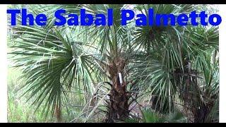 The Sabal Palmetto!