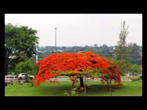 Flamboyant en Brasilia 2, noviembre de 2012