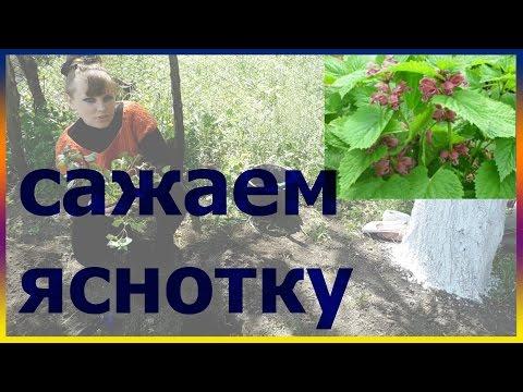 Яснотка почвопокровная посадка выращивание уход размножение. Как правильно посадить яснотку.