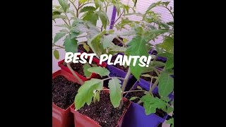 Secrets/Tips For Growing BEST Tomato Plants! ~ Homesteading Ways