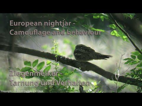 Ziegenmelker - European nightjar (Caprimulgus europaeus)