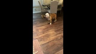 English Bulldog Puppy Ball Busting