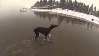Aries Dobermans - Gopro Hero 3 - Lake Tahoe - Chasing Ducks - Doberman Pinscher - Akc