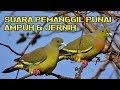 Suara Pemanggil Punai/Walik,Jernih & Teruji Ampuh