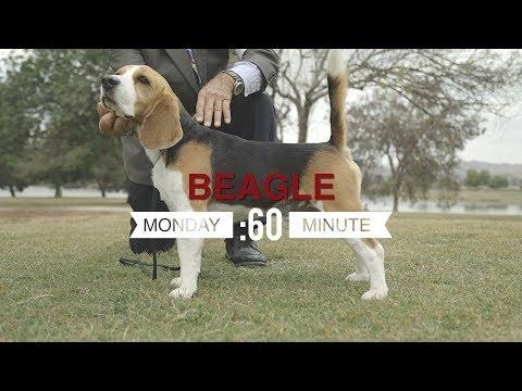MONDAY'S MINUTE: BEAGLE