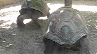 Tortoises from the San Antonio Zoo