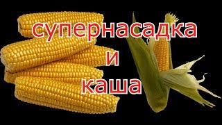 Старая кукуруза, как насадка и каша в пружины.