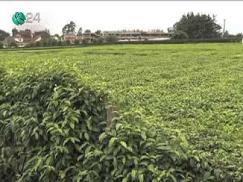 Hostels Replace Tea Farms In Nyeri