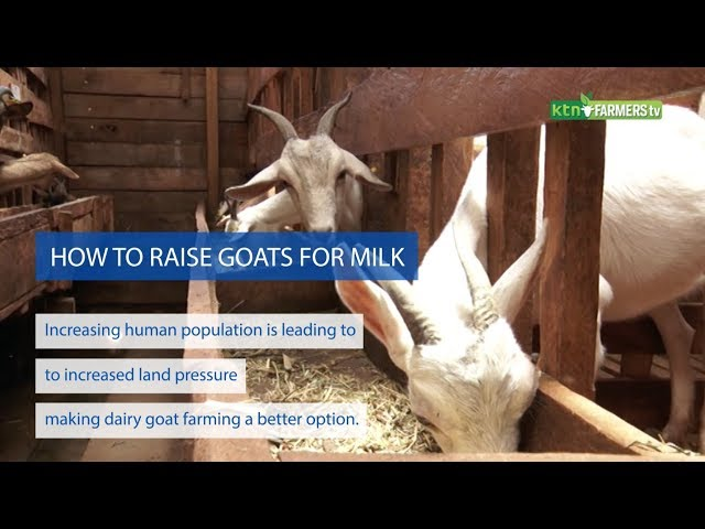 How to raise dairy goats for milk - FTV Digital
