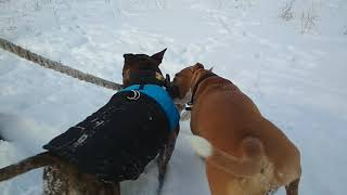 Коба бультерьер стандарт (Bull terrier)  с подругой стаффордширский терьер