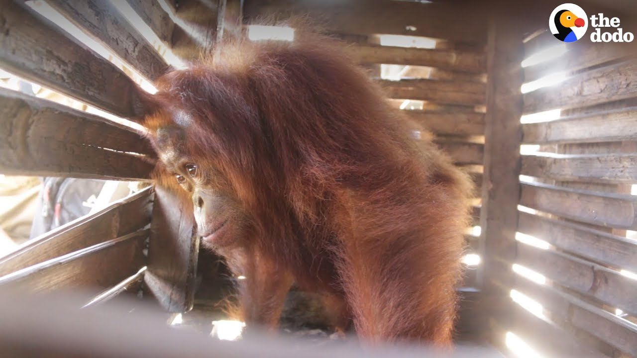 Orangutan Kept In Small Box For Weeks Is FINALLY Free