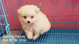 Cute chết luôn - phốc sóc con trắng xinh xinh như bông gòn - Mật Pet Family