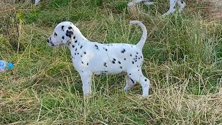 Dalmatian puppies do the great escape!