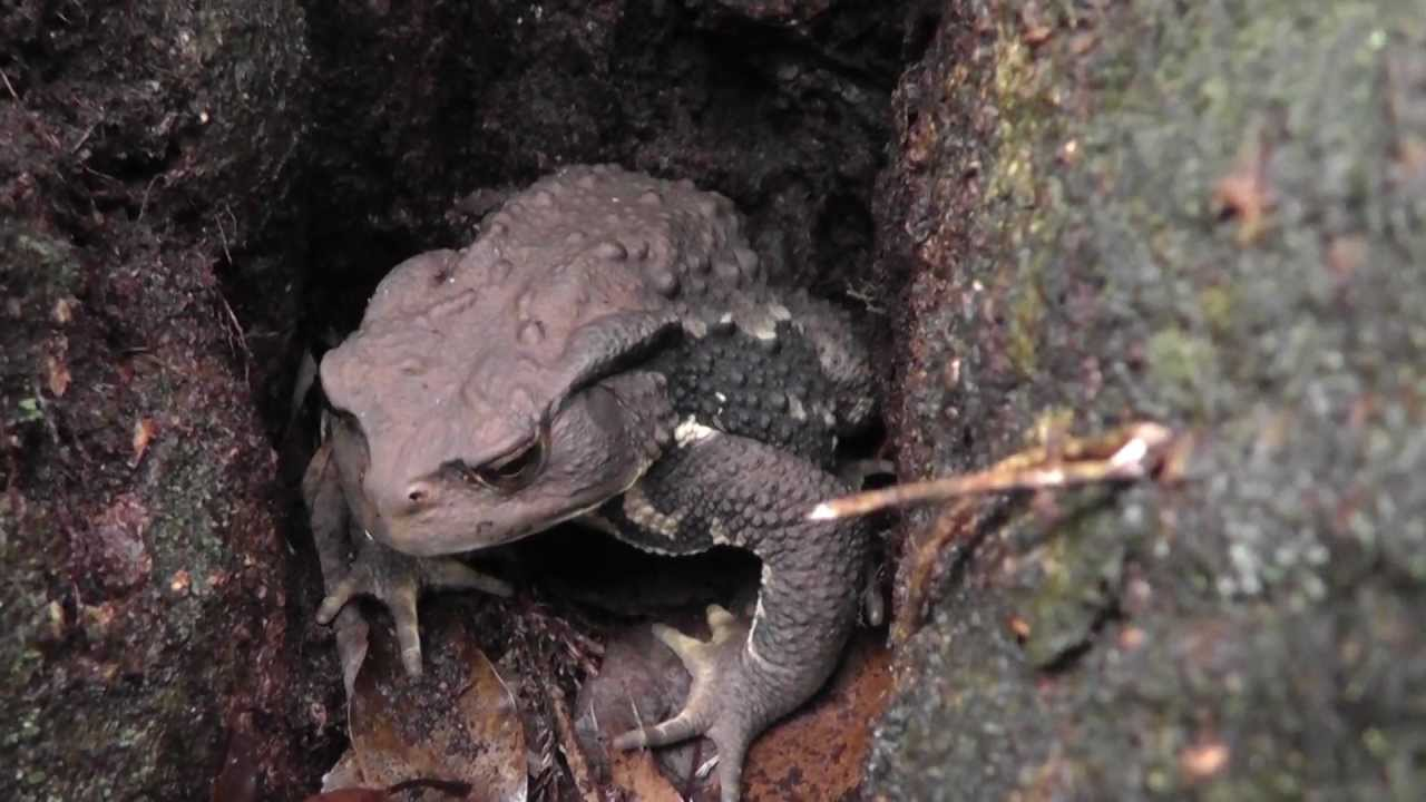 Giant Japanese Mountain Toad