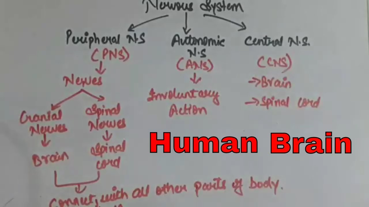 Human brain structure function nervous system types class human brain structure function nervous system types class 10 biology ncert 10 bio ccuart Images