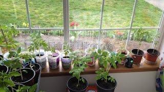 Томаты (помидоры). Петуния и томаты 16 июля 2013. Petunia and tomatoes. How to grow tomatoes.(Любительское видео о том, как я выращиваю помидоры (томаты) около своего дома в Штате Вашингтон, Америка...., 2015-02-20T17:24:14.000Z)