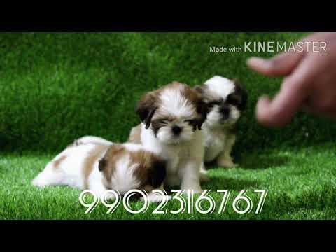 #SHIHTZU Very Adorable Quality Shihtzu Puppies For Sale In Bangalore