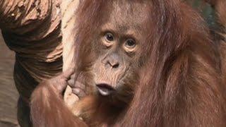 В Мире Животных ОРАНГУТАНГИ 2016 с Николаем Дроздовым повелители джунглей