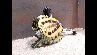 Turtle Flipping Over From Falling on Back - Red Eared Slider