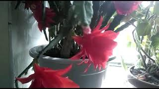 Эпифиллум весной. Все правила ухода за лесным кактусом...