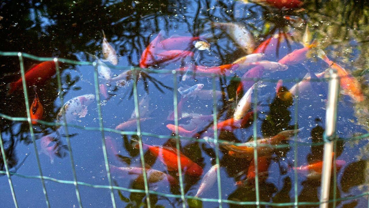 Mi estanque de peces youtube for Estanque de peces