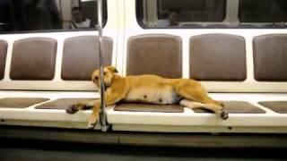 Собака в метро