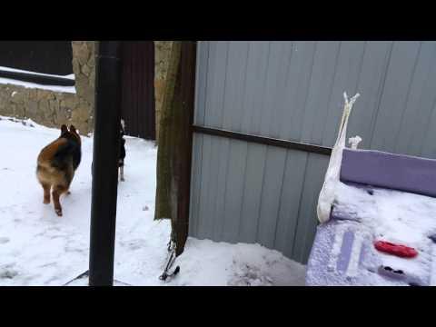 обучение- охрана двора (злоба) - немецкая овчарка в паре с дворнягой