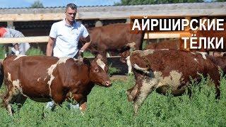 РАЗГРУЗКА И ПЕРЕГОН АЙШИРСКИХ ТЕЛОК. КФХ Александра Москвина.