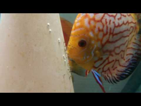 Discus Breeding Day 3 And 4