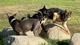 German Shepherds Encircle a Dog After He Snaps at Another GSD