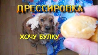 Дрессировка кокер спаниеля ( команда ползи и команда брось) / English cocker spaniel
