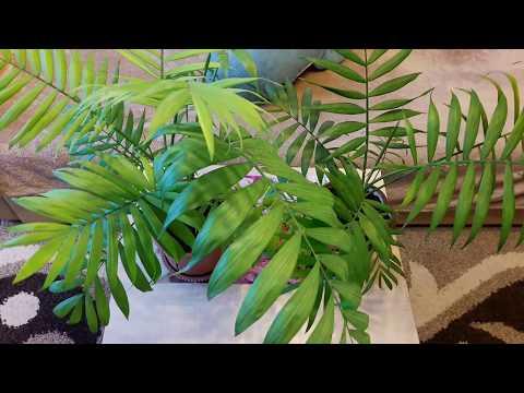 Домашние растения: Хамедорея - уход и размножение. Как цветет хамедорея!?